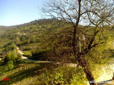 Morera centenaria de moras blancas y dulces. Santa María - Santa María, Orense, Galicia