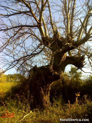 El Castaño, árbol centenario en As Fontelas, Orense - As Fontelas, Orense, Galicia