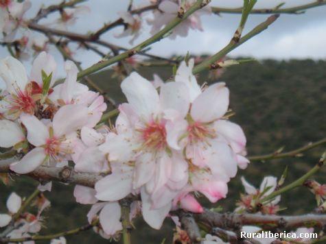 Almendro en Flor en Despeñaperros. Linares, Jaén - Linares, Jaén, Andalucía