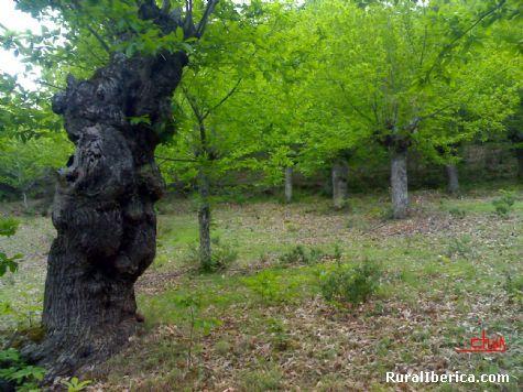 Un viejo castaño. Santa María de Mones, Orense - Santa María de Mones, Orense, Galicia