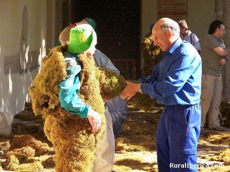 Vistiendo al hombre de musgo. Béjar, Salamanca - Béjar, Salamanca, Castilla y León
