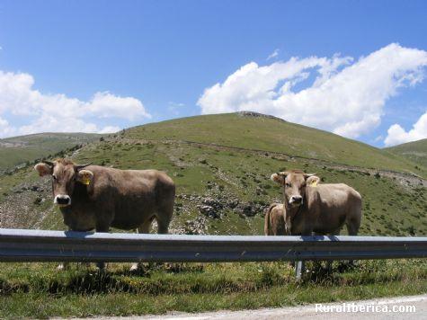 Vacas en el pirineo barcelones, Castellar de Nuch, Barcelona. - Castellar de Nuch, Barcelona, Cataluña