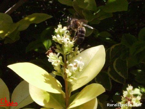 Libando en la flor - Petín, Orense, Galicia