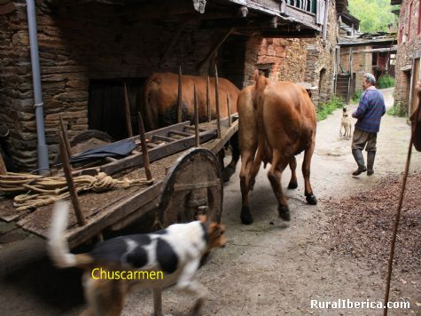 Carro de vacas en Bustelo-Quiroga - Bustelo-Quiroga, Lugo, Galicia