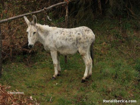 Precioso y sufrido animal - Chandrexa de Queixa, Orense, Galicia