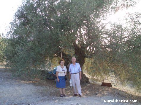 Olivo milenario. Cazorla, Jaén - Cazorla, Jaén, Andalucía