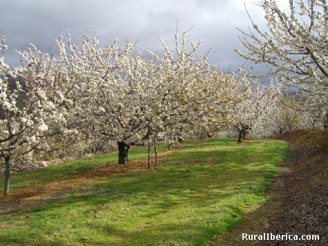 Cerezos de Herv�s en flor. Herv�s, C�ceres - Herv�s, C�ceres, Extremadura