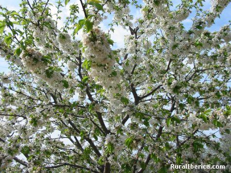 Cerezo en floración. Jaraíz de la Vera, Cáceres - Jaraíz de la Vera, Cáceres, Extremadura