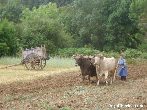 Arando con las vacas. Alsite, Zamora - Alsite, Zamora, Castilla y León