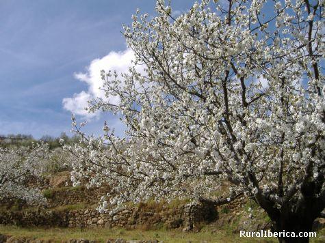 Cerezo en el Jerte. Valle del Jerte, Cáceres - Valle del Jerte, Cáceres, Extremadura