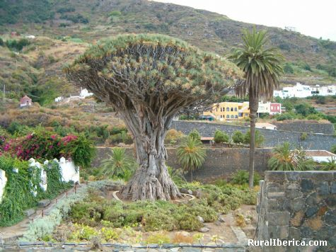 Drago Milenario. Icod de los Vinos - Icod de los Vinos, Santa Cruz de Tenerife, Islas Canarias