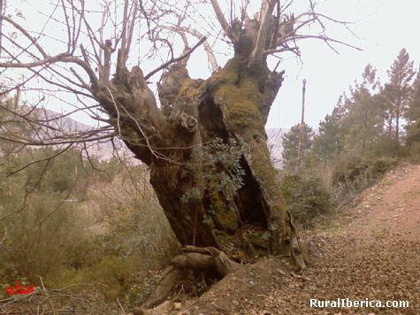 Castaño en Alvaredos - Quiroga, Lugo, Galicia