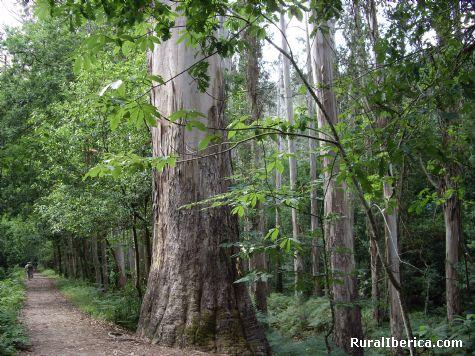 Eucalipto - Souto da Retorta, Lugo, Galicia