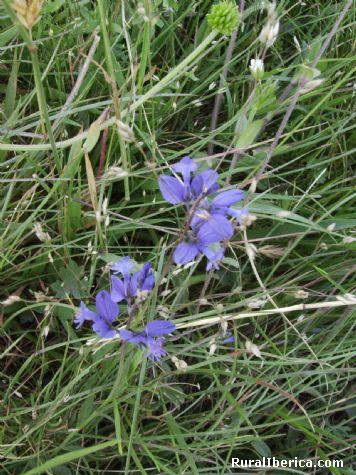 Hermonsa flor azul - PETIN, Orense, Galicia