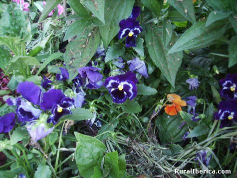 viola tricolor-pensamiento - petin, Orense, Galicia