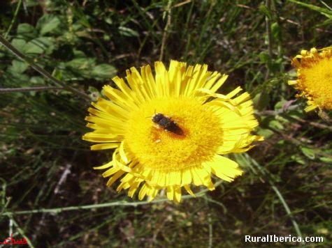 Una abejita libando en la flor - Santa Mar�a-Pet�n, Orense, Galicia