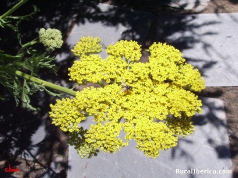 flor silvestre con mosca - Pet�n, Orense, Galicia