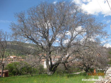 Nogal en Navacepedilla de Corneja - Navacepedilla de Corneja, Ávila, Castilla y León