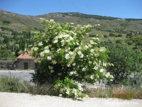 Flor del saúco - Navacepedilla de Corneja, Ávila, Castilla y León