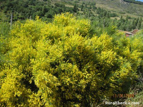 Flor de la escoba albar - Navacepedilla de Corneja, �vila, Castilla y Le�n