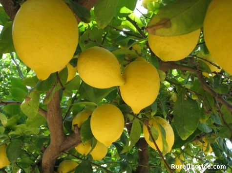 Huerta de Murcia- Limones - Alcantarilla, Murcia, Murcia
