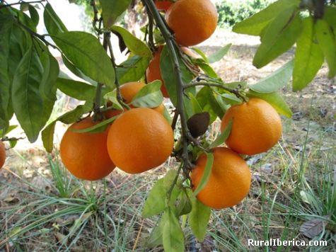 Huerta de Murcia- Mandarinas  - Alcantarilla, Murcia, Murcia