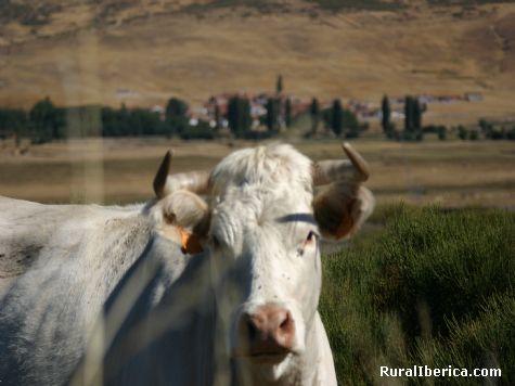La vaca y Garganta al fondo. Garganta del Villar, Ávila - Garganta del Villar, Ávila, Castilla y León