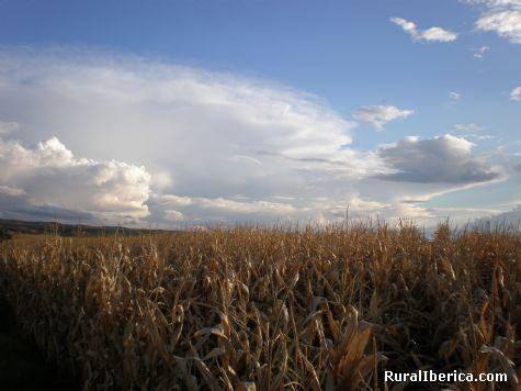 campo de maiz - Villamiel, Toledo, Castilla la Mancha