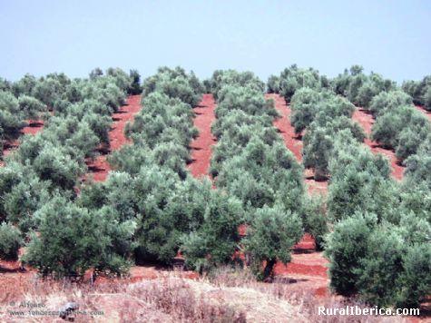 Olivares de Jaén. Jaén, Andalucía - Jaén, Jaén, Andalucía