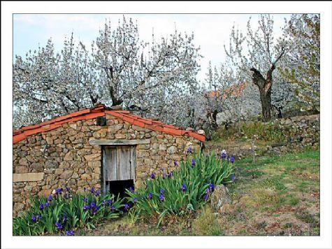 Cerezos en flor - Valdastillas, Cáceres, Extremadura
