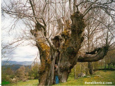 Castaño de Pombairiños-Rozabales-Manzaneda. Tiene  más de 2000 años, se puede ver la diferencia entre entre él y el hombre - MANZANEDA, Orense, Galicia