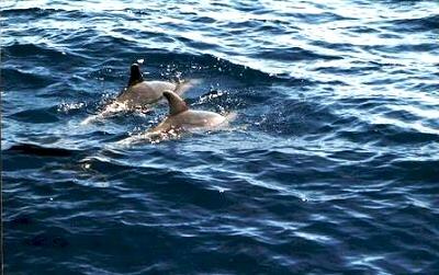 Tenerife, delfines en el mar - Santa Cruz de Tenerife, Islas Canarias